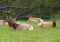 Dean Creek Elk viewing